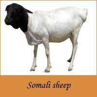 Somali goat - Wikipedia